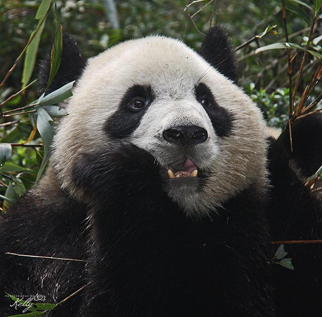 Chengdu: Giant Panda Breeding Research Base