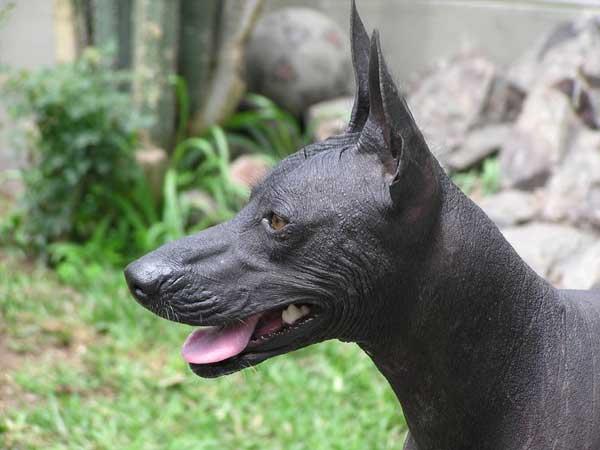 Lelijkste hondenrassen ter wereld, Peruaanse naakthond