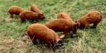 Het nieuwe boeren: varkens als ploeg