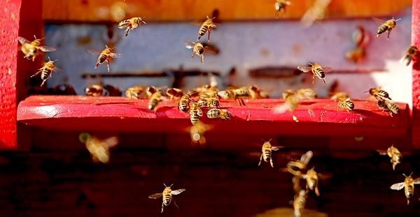 bijen bijensterfte neonicotinoide