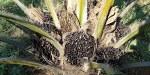 Geen palmolie meer in Europese autotank