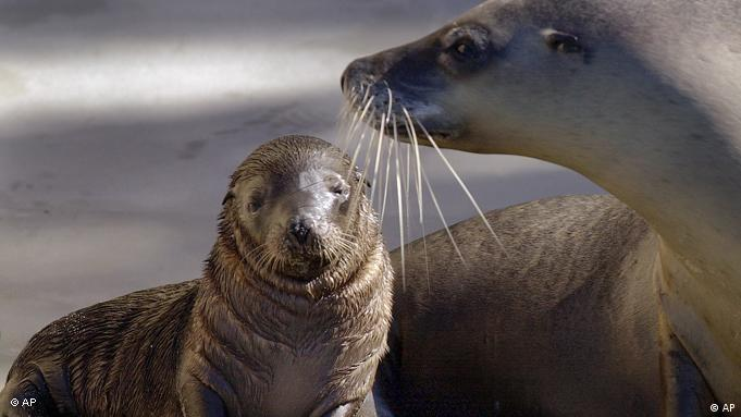 Sea lion with its pup (Picture: AP Photo/Rick Rycroft)