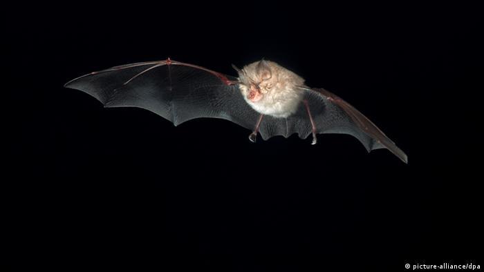 Bildergalerie bedrohte Tier- und Pflanzenarten Fledermaus