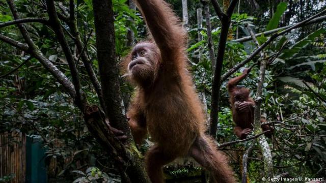 Індонезійським орангутанам загрожує вимирання через вирубку лісів