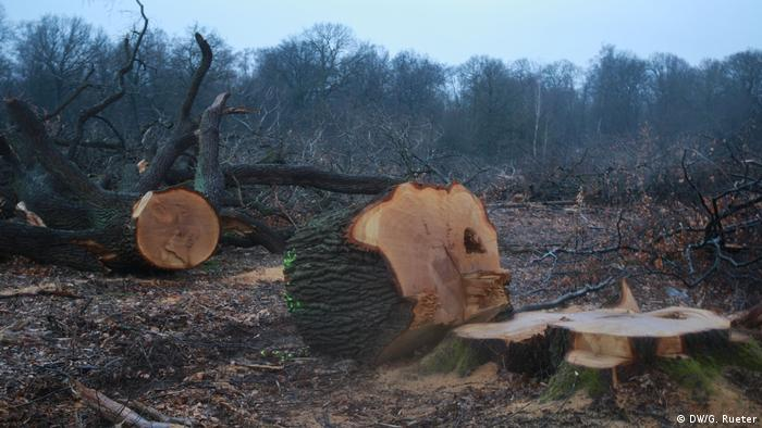 Old-growth tree is cut down in Hambach Forest