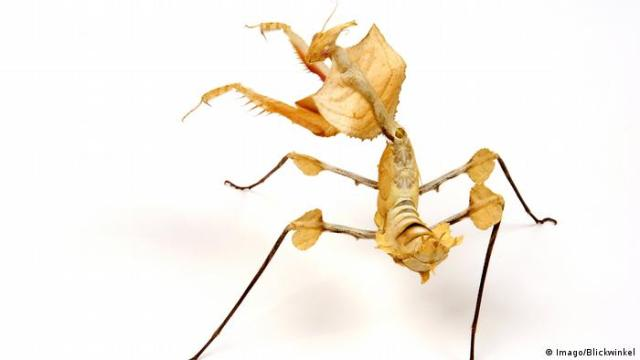 Giant Devil's Flower Mantis (Imago / Blickwinkel)
