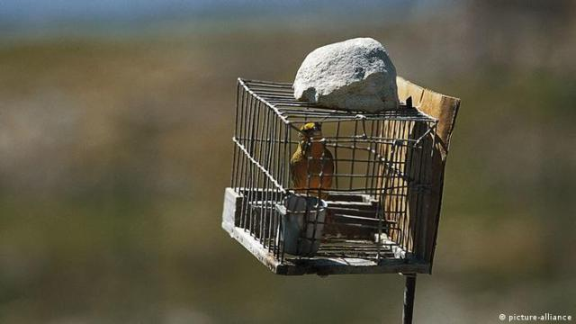 A decoy bird sits in a cage in Malta