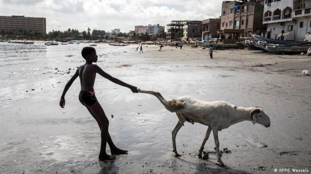 A boy in Senegal pulling the legs of a sheep