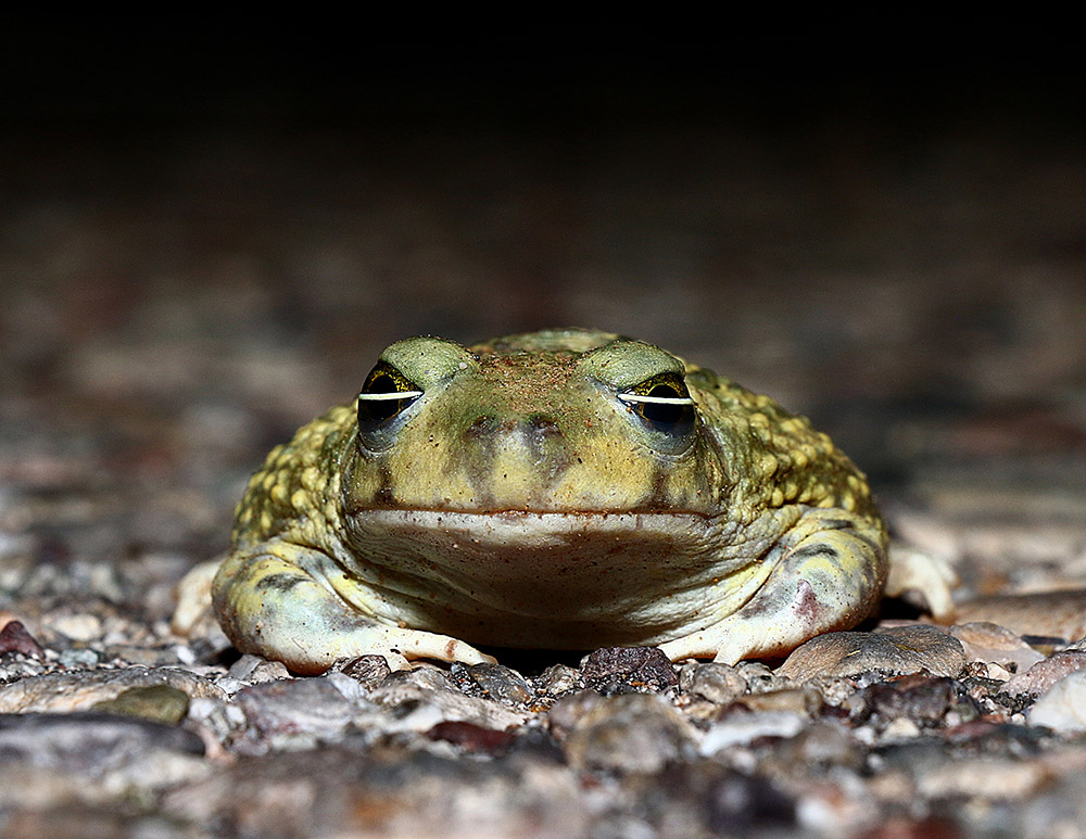 Couch's Spadefoot, Southern AZ, 2014.