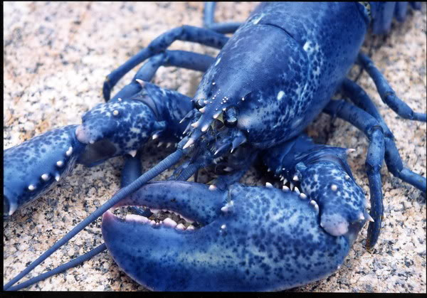 BlueLobster