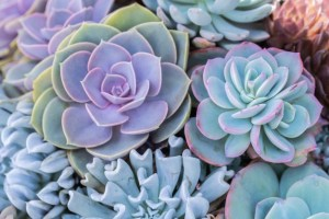 Succulents Small Works of Art of Nature
