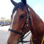 Honor is the newest member of the Sarasota County Florida Sheriff's Mounted Patrol.