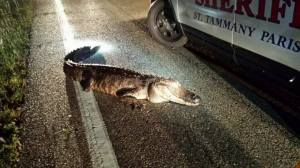 St. Tammany Parish Sheriff's Deputies occasionally have hazards other than impaired drivers to deal with.