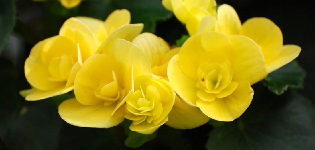 YellowFlowers3