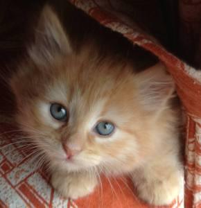 Ginger Siberian kitten