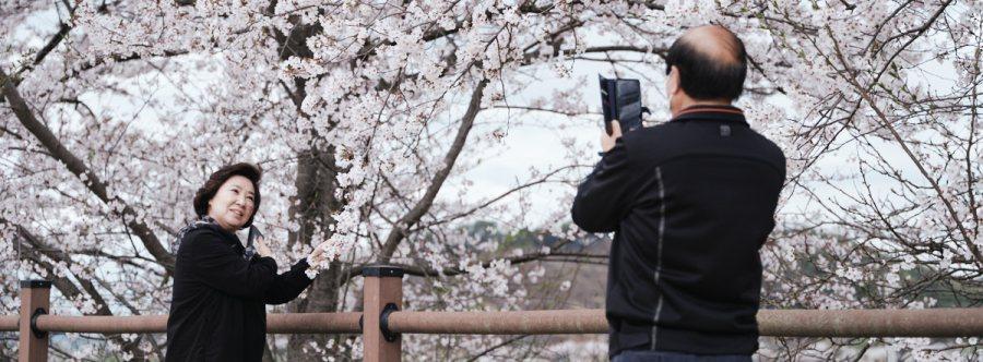 Geumgang Cycling Path - Cherry Blossoms