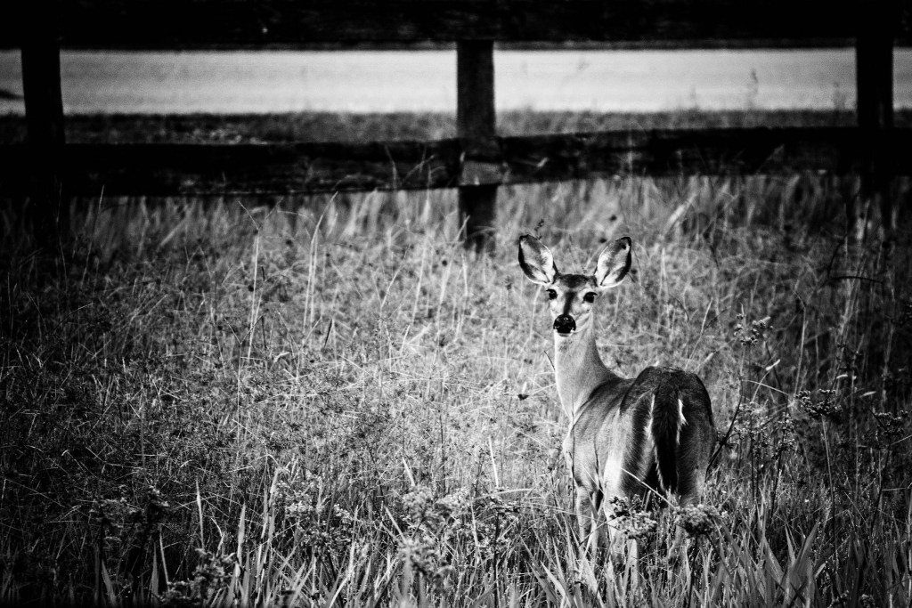 A Doe in a Field