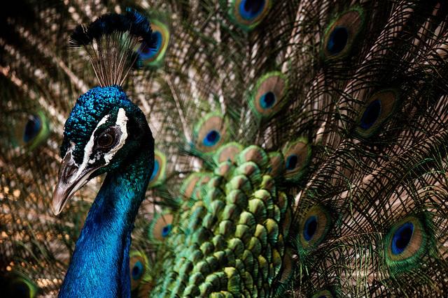 Full Peacock