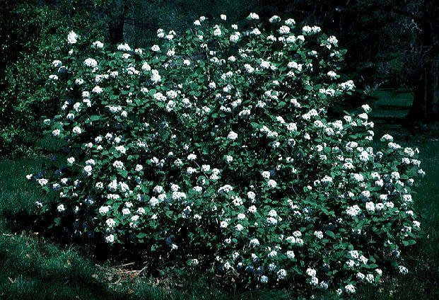 Plants We Love: Korean Spice Viburnum