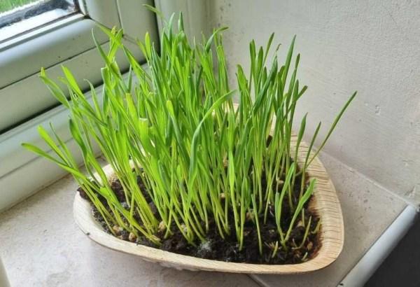 e-pots kitty cat grass