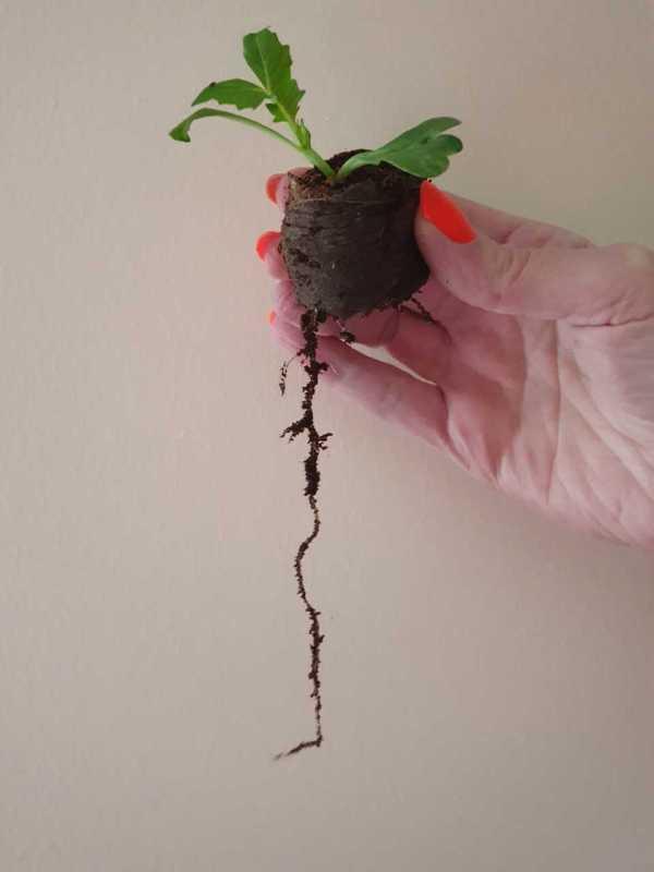 e-pots 36mm coir pellet with long plant root