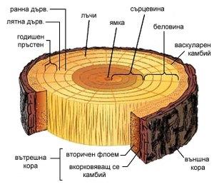 Структурните елементи на дървесината