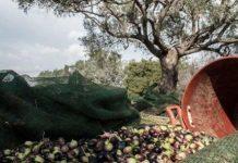 Ξένες εταιρείες προσπαθούν να αγοράσουν εκτάσεις ελαιοδένδρων