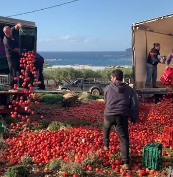 ΑΠΟΓΝΩΣΗ | παραγωγοί πετούν στα πρόβατα 50 τόνους ντομάτα/μέρα – ασφυκτικές οι πιέσεις της αγοράς (video+photos)
