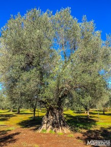 There are 60 million olives trees in Puglia