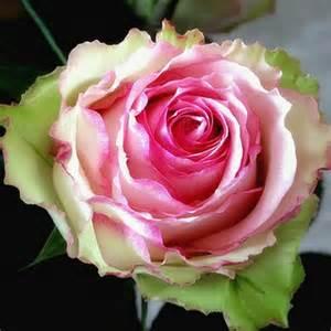 rose esperence