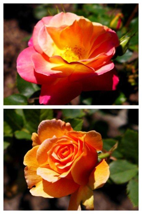 Rose Garden, Golden Gate Park, San Francisco