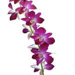 Dendrobium Orchids