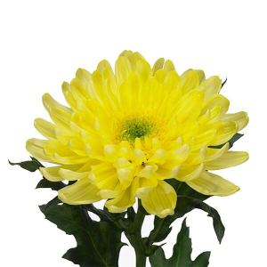 Deco Chrysanthemum (Disbud)