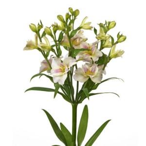 Florinca - Spray Alstroemeria