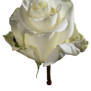 T-Hybrid Roses