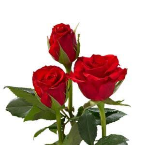 Supermarket Range Roses - Intermediate Roses