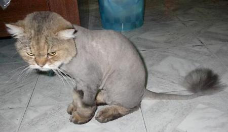 Pomeranian Haircut Lions