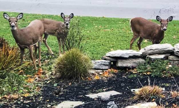 Deer culling agreement in Manlius approved, met with some opposition