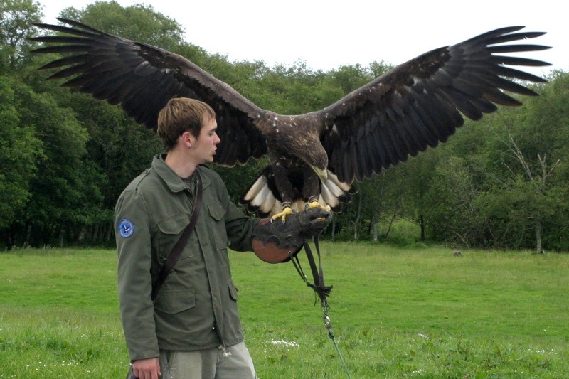 Buzzard At Eagles Flying Irish Raptor Research Centre