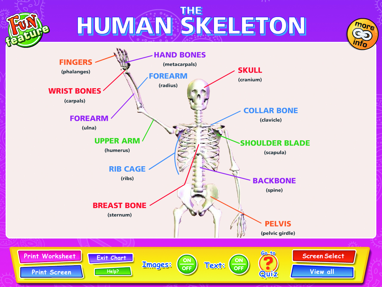 The Skeleton Muscles And Joints Interactive Whiteboard Chart Set Set Of 3