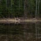 Vid en damm har bävrarna kalasat på nyfällda björkar