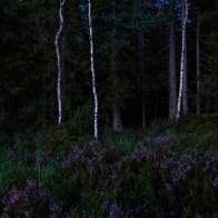 Björkarna och ljungen reflekterar det sista kvällsljuset
