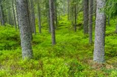 Grönskande blåbärsris