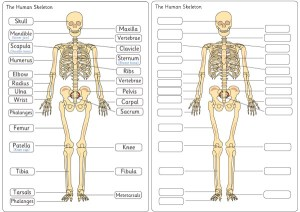 Human Skeleton Diagram Labelling Sheets | Free Early Years