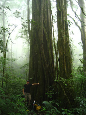 Researcher Kevin  Anchukaitis sampled nearly 30 old trees in the Monteverde cloud forest  before finding two whose climate data could be extracted.