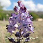 med autumn squill