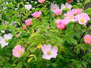 hh wild rose