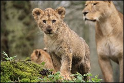longleat-louisa-cubs-021114