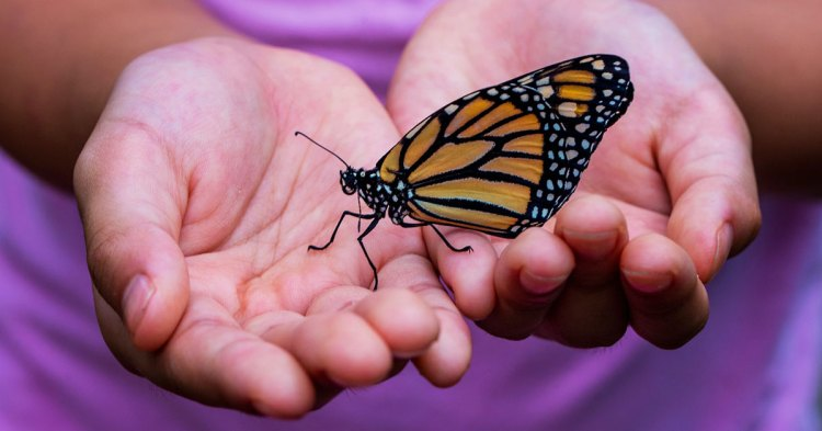 Butterfly held in child's hands