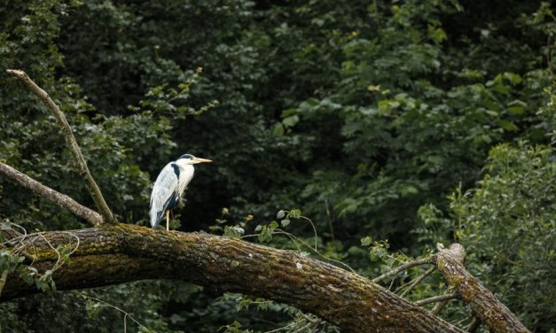 The Heron Waits